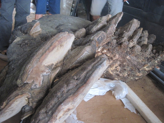 Một cây nấm linh chi nặng hơn 2 tạ, giá tỉ đồng