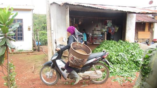 Một điểm thu mua trà tươi bên đường