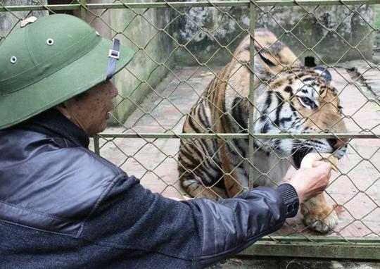 Đột nhập trại nuôi hổ lớn nhất ở Thanh Hóa - Ảnh 12.