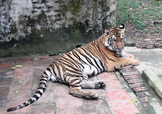 Đột nhập trại nuôi hổ lớn nhất ở Thanh Hóa - Ảnh 8.