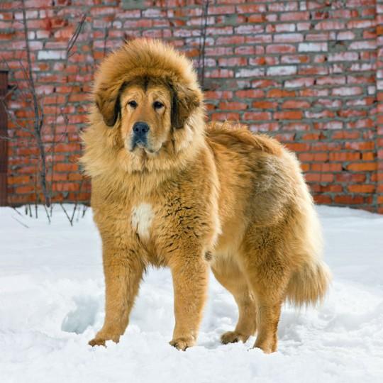 Chó ngao Tây Tạng giá gần 2 triệu USD