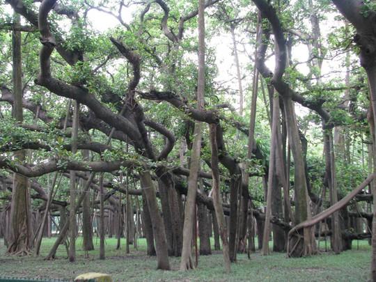 Cây Banyan khổng lồ với nhiều rễ cắm xuống đất