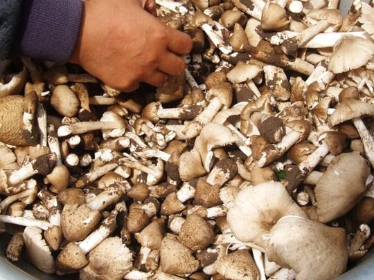 """Nấm khoang, một loại nấm được nhiều người """"mê"""" ở Phú Yên"""