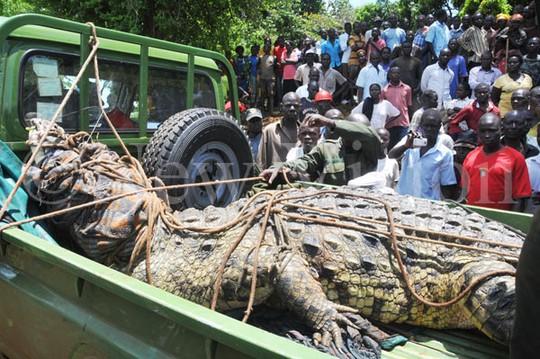 Con cá sấu khổng lồ được vận chuyển lên xe