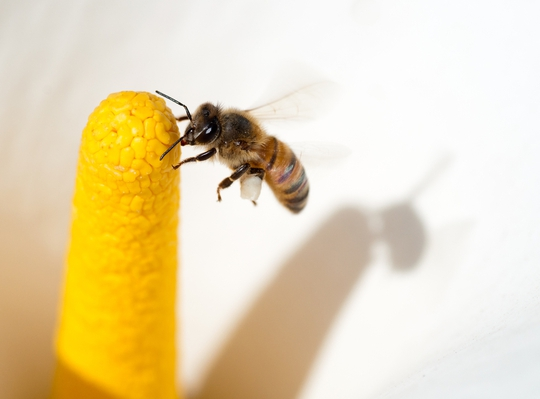 Ong mật gốc Phi rất ít tấn công người, nhưng đã tấn công thì rất dữ dội