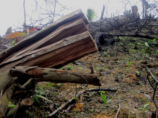 Cây rừng bị khai thác trái phép