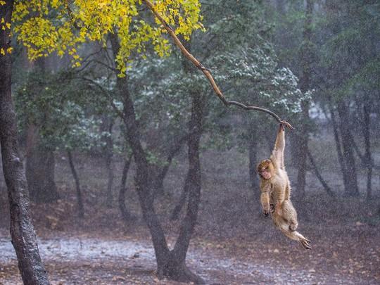 Ngây ngất vũ điệu dưới mưa của khỉ