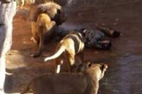 Người đàn ông bị 3 con sư tử tấn công. Ảnh: Rex