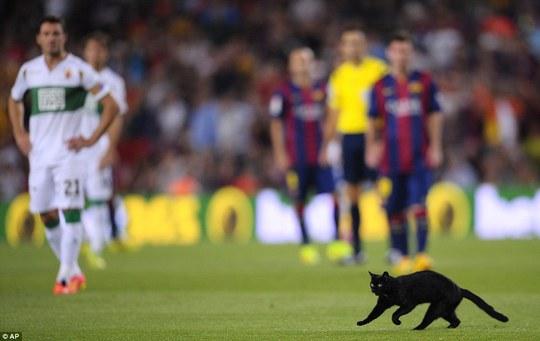 Chú mèo mun trên sân Nou Camp hôm 25-8