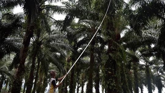 Một công nhân thu hoạch quả của cây dầu cọ trên đảo Sumatra, Indonesia.