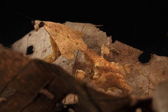 Loài bọ ngựa Deroplatys trigonodera bắt chướchình dáng chiếc lá úa