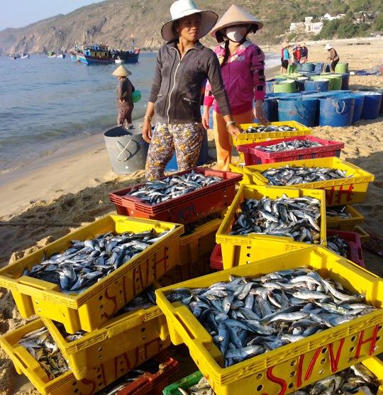 Tiểu thương thu mua cá nục gai từ các tàu cá của ngư dân