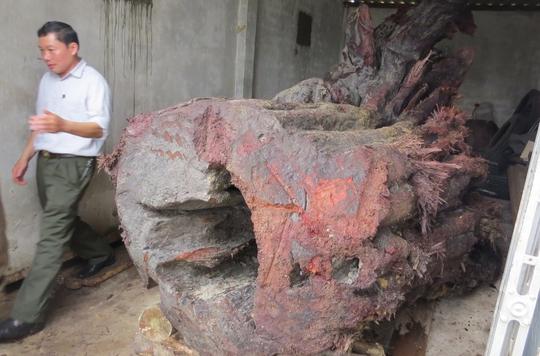 Gốc gỗ sưa được bảo quản tại hạt kiểm lâm huyện Bố Trạch