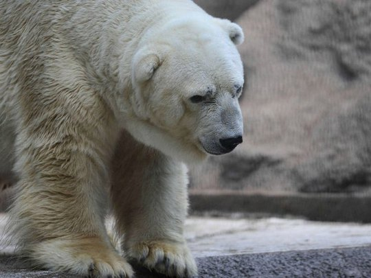 """Gấu """"buồn nhất thế giới"""" vẫn ở lại Argentina"""