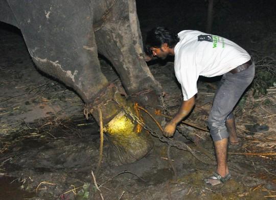 Thân thể của chú voi đồ sộ đầy thương tích và bị chảy máu ở chỗ cùm chân.
