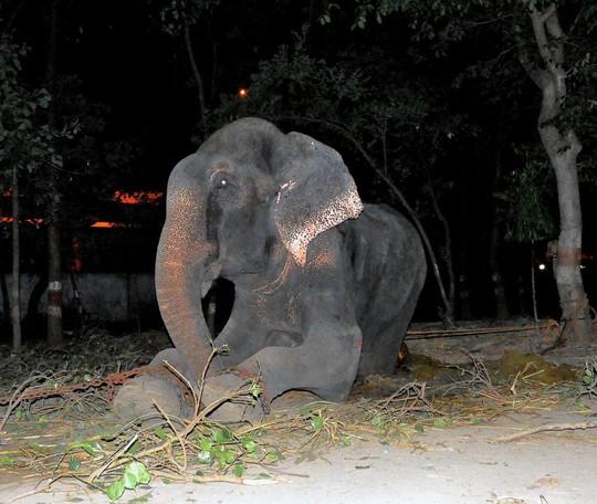 Chú voi Raju chảy nước mắt khi được giải thoát