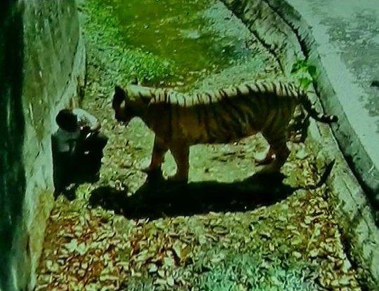Nam sinh đối mặt với hổ dữ trong vườn thú