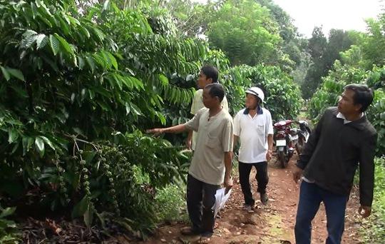 Vườn cà phê của người dân nằm trong vùng Dự án khu ĐT-DV-CN Đồng Phú ở huyện Đồng Phú, tỉnh Bình Phước, dù có sổ đỏ nhưng vẫn bị quy chụp… đất lấn chiếm!