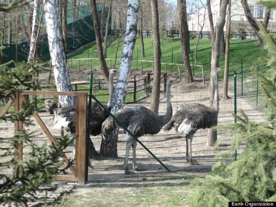 Đà điểu tại vườn thú riêng của ông Yanukovych. Ảnh: Earth Organization