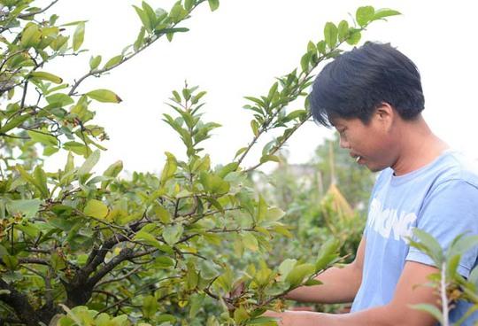 Nhiều chủ vườn đang tất bật lo cắt bỏ những bông mai đã nở trước Tết.