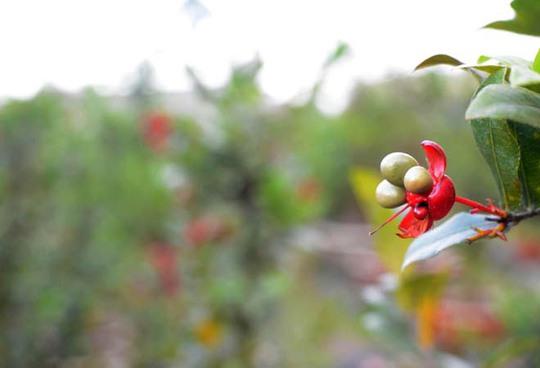 Rất nhiều gốc mai đã ra hoa và trổ hạt từ trước Tết hơn 1 tháng.