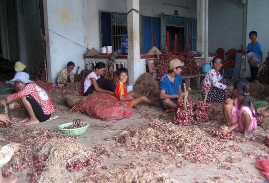 Không khí thu hoạch và mua bán hành tím ở Vĩnh Châu thời điểm này vui như Tết