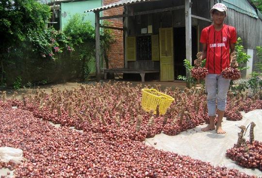 Người trồng hành tím đang phấn khởi khi sản phẩm của mình đang tăng giá