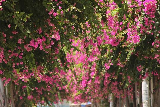 Tuyến đường rực rỡ hoa giấy hồng