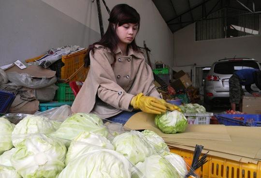 Giá bắp cải đã tăng từ 3.000 tăng lên 5.000 đồng/kg