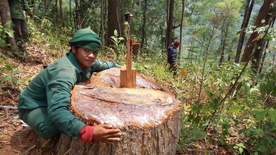 Nhiều cây rừng bị lâm tặc đốn hạ