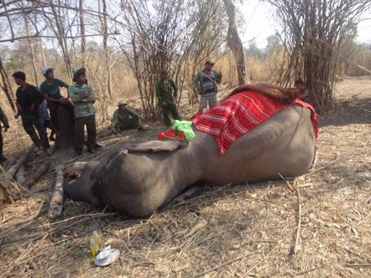 Một trong 4 con voi nhà chết trong năm 2015. Ảnh do Trung tâm Bảo tồn voi Đắk Lắk cung cấp