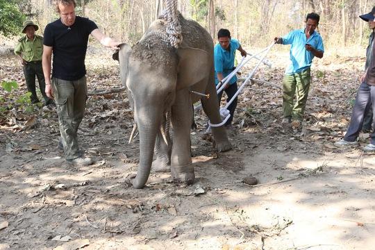 Khống chế chú voi để phẫu thuật. Ảnh Trung tâm Bảo tồn voi Đắk Lắk cung cấp