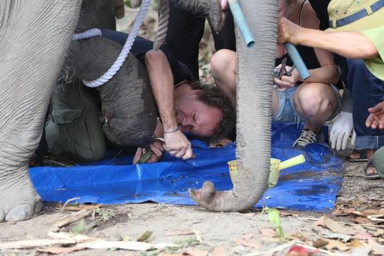 Sau khi dính bẫy, chú voi cố vùng thoát nên phần móng của 1 chân trước bị mất. Ảnh do Trung tâm Bảo tồn voi Đắk Lắk cung cấp