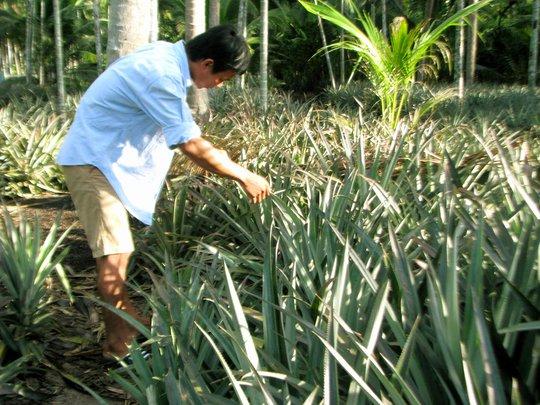 Khóm Tắc Cậu được trồng xen canh với dừa
