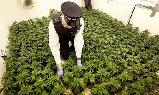 Cảnh sát Anh đột kích một nhà máy trồng cần sa ngay thủ đô London. Ảnh: The Guardian