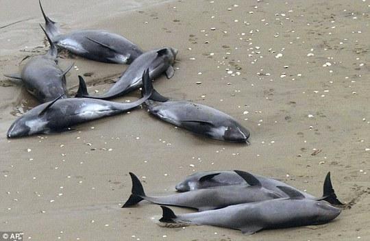 150 con cá heo mắc cạn ở bãi biển TP Hokota. Ảnh: AP