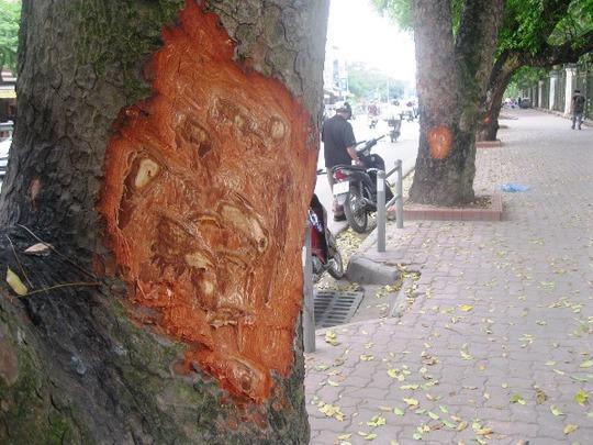 Những gốc cây xà cừ cổ thụ bị cạo gọt thân tại đường Lê Duẩn