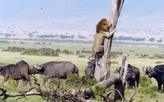 Đàn trâu chờ dưới gốc cây khiến sư tử mắc kẹt một hồi lâu. Ảnh: Barcroft