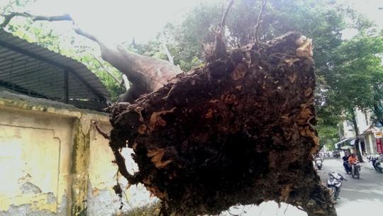 Gốc cây cổ thụ treo lơ lửng trên không trung khiến nhiều người hoảng sợ