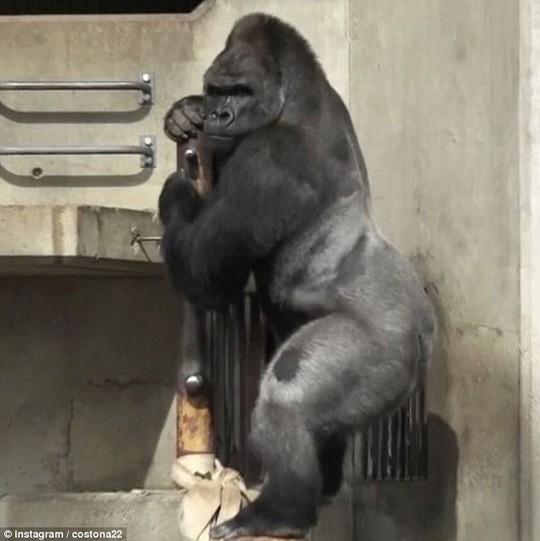 Chú khỉ đột Shabani. Ảnh: Instagram