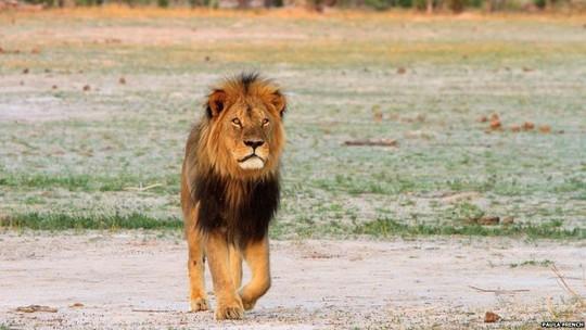 Con sư tử Cecil với bờm màu đen đặc biệt. Ảnh: BBC