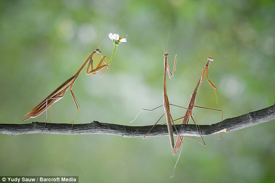Another snap shows the first mantis still standing tall, with the second two appearing as if they are in conversation