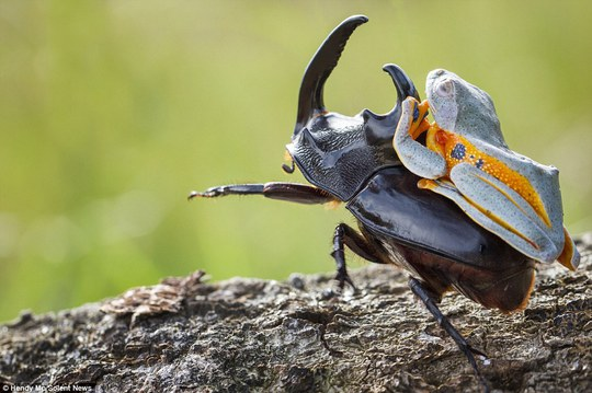 King of the rodeo: The flying frog managed to stay atop the woodboring beetle for around five minutes before eventually crawling off