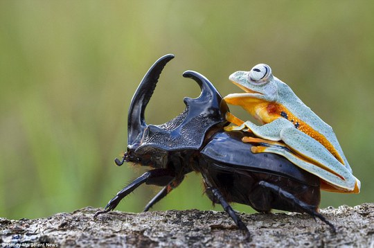Grinning wide: The green and orange frog is pictured with a huge smile on its face as it enjoyed its own rodeo before eventually crawling off