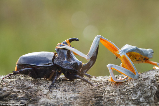 Lets go for a ride: The flying frog is seen effortlessly climbing onto the woodboring beetle before the attempts to fly away