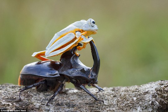 Let me direct you: The flying frog, pictured with its front legs around the beetles claw-like antenna, sits comfortably as the insect moves