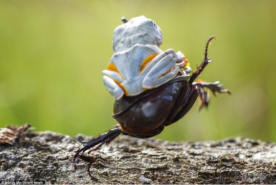 Risky business: The photographer, who captured the off antics in Sambas, in Indonesia, said the frog stayed on even as the beetle took off
