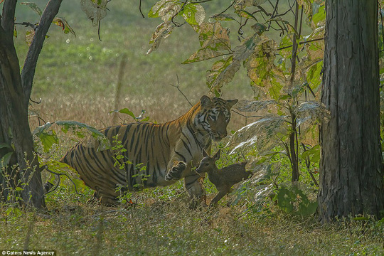 Play with me! The tigress instead just wants to play with the baby deer and kept patting it with its paws