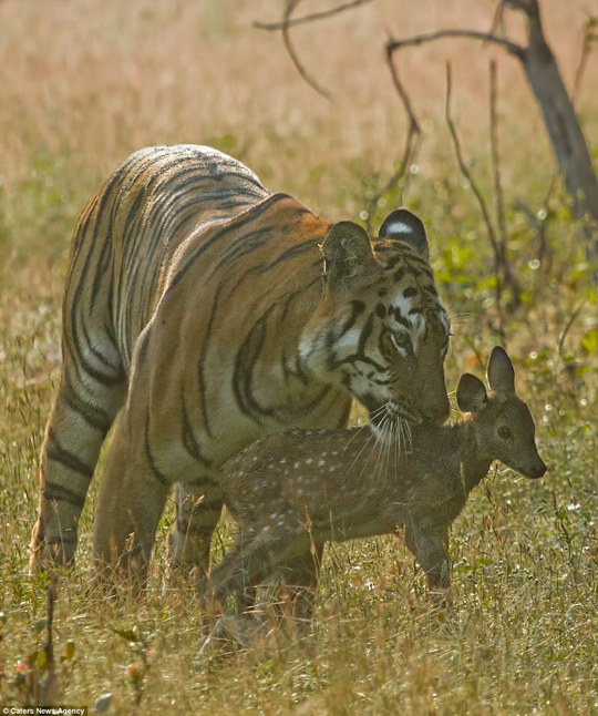 Photographer Souvik Kundu, 35, from Mumbai witnessed the tigress nuzzling the spotted deer fawn like one of her cubs