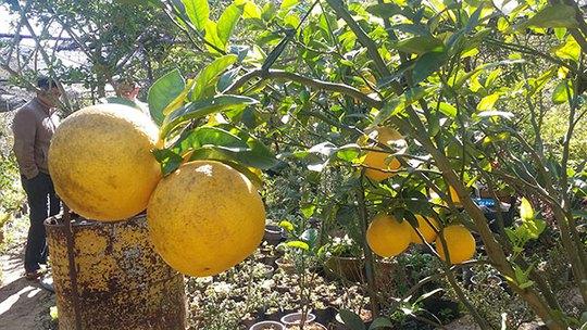 Cây chanh khổng lồ Đà Lạt cho trái chín vàng